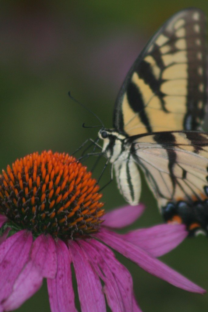 135 Butterfly on Echinacea